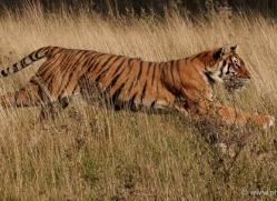 bangal-tiger-2565-hamerton-copyright-photographers-on-safari-com