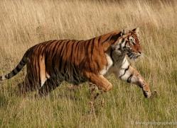 bangal-tiger-2566-hamerton-copyright-photographers-on-safari-com