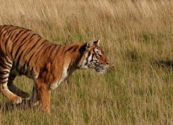 bangal-tiger-2567-hamerton-copyright-photographers-on-safari-com