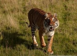 bangal-tiger-2568-hamerton-copyright-photographers-on-safari-com