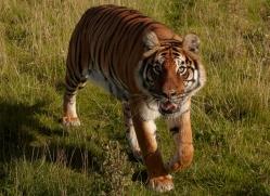 bangal-tiger-2569-hamerton-copyright-photographers-on-safari-com