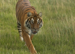 bangal-tiger-2573-hamerton-copyright-photographers-on-safari-com