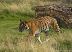 bangal-tiger-2576-hamerton-copyright-photographers-on-safari-com