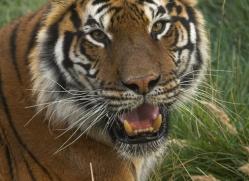 bangal-tiger-2577-hamerton-copyright-photographers-on-safari-com
