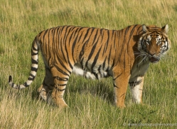 bangal-tiger-2579-hamerton-copyright-photographers-on-safari-com