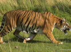 bangal-tiger-2580-hamerton-copyright-photographers-on-safari-com