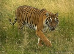 bangal-tiger-2583-hamerton-copyright-photographers-on-safari-com