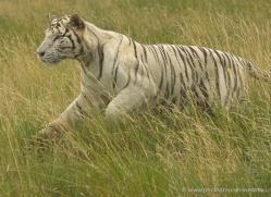 white-tiger-wolf-2550-hamerton-copyright-photographers-on-safari-com