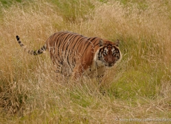 bangal-tiger-2551-hamerton-copyright-photographers-on-safari-com