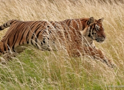bangal-tiger-2553-hamerton-copyright-photographers-on-safari-com