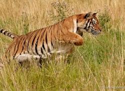 bangal-tiger-2557-hamerton-copyright-photographers-on-safari-com