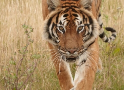 bangal-tiger-2561-hamerton-copyright-photographers-on-safari-com