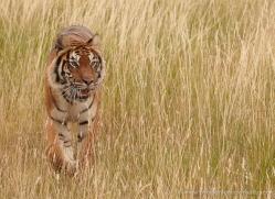 bangal-tiger-2563-hamerton-copyright-photographers-on-safari-com