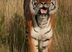 bangal-tiger-2572-hamerton-copyright-photographers-on-safari-com