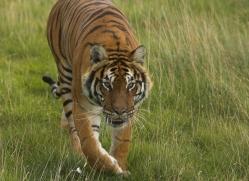 bangal-tiger-2574-hamerton-copyright-photographers-on-safari-com