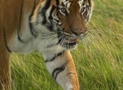 bangal-tiger-2575-hamerton-copyright-photographers-on-safari-com