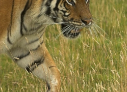 bangal-tiger-2582-hamerton-copyright-photographers-on-safari-com