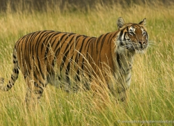 bangal-tiger-2584-hamerton-copyright-photographers-on-safari-com