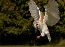 barn-owl-2526-hamerton-copyright-photographers-on-safari-com