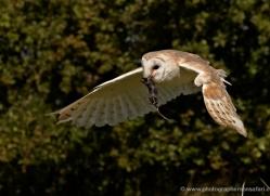 barn-owl-2527-hamerton-copyright-photographers-on-safari-com