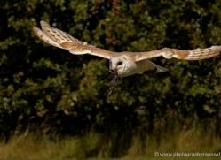 barn-owl-2528-hamerton-copyright-photographers-on-safari-com