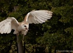 barn-owl-2530-hamerton-copyright-photographers-on-safari-com