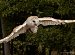 barn-owl-2531-hamerton-copyright-photographers-on-safari-com