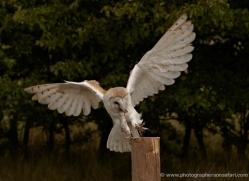 barn-owl-2532-hamerton-copyright-photographers-on-safari-com