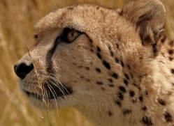 cheetah-2497-hamerton-copyright-photographers-on-safari-com
