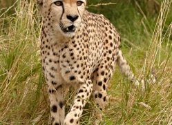cheetah-2498-hamerton-copyright-photographers-on-safari-com