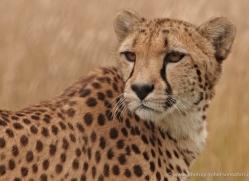 cheetah-2499-hamerton-copyright-photographers-on-safari-com