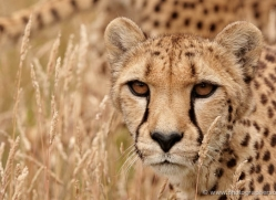 cheetah-2500-hamerton-copyright-photographers-on-safari-com