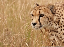 cheetah-2501-hamerton-copyright-photographers-on-safari-com