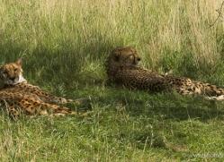 cheetah-2502-hamerton-copyright-photographers-on-safari-com