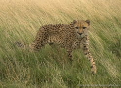 cheetah-2505-hamerton-copyright-photographers-on-safari-com