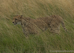 cheetah-2506-hamerton-copyright-photographers-on-safari-com