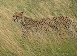 cheetah-2507-hamerton-copyright-photographers-on-safari-com