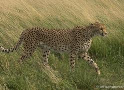 cheetah-2508-hamerton-copyright-photographers-on-safari-com