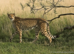 cheetah-2509-hamerton-copyright-photographers-on-safari-com
