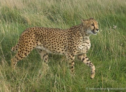 cheetah-2510-hamerton-copyright-photographers-on-safari-com