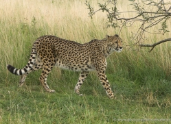 cheetah-2511-hamerton-copyright-photographers-on-safari-com