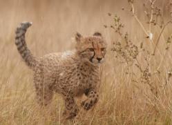cheetah-cub-2491-hamerton-copyright-photographers-on-safari-com