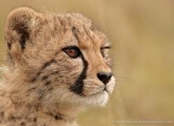 cheetah-cub-2492-hamerton-copyright-photographers-on-safari-com