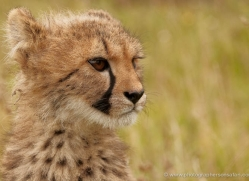 cheetah-cub-2494-hamerton-copyright-photographers-on-safari-com