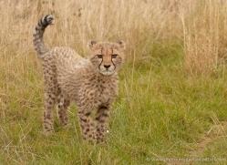 cheetah-cub-2496-hamerton-copyright-photographers-on-safari-com