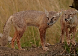 corsac-fox-2513-hamerton-copyright-photographers-on-safari-com