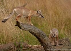 corsac-fox-2514-hamerton-copyright-photographers-on-safari-com