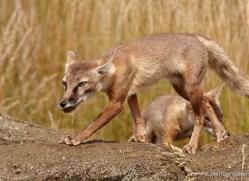 corsac-fox-2515-hamerton-copyright-photographers-on-safari-com