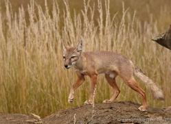 corsac-fox-2516-hamerton-copyright-photographers-on-safari-com