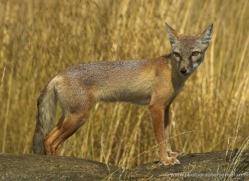 corsac-fox-2517-hamerton-copyright-photographers-on-safari-com